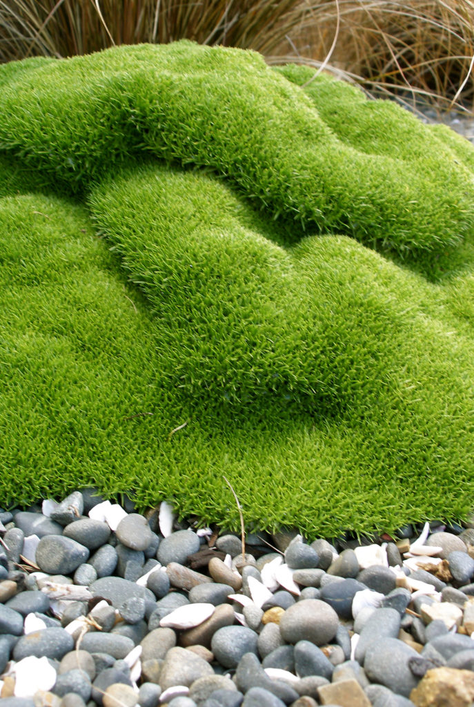 scleranthus moss, grasses and pebble garden