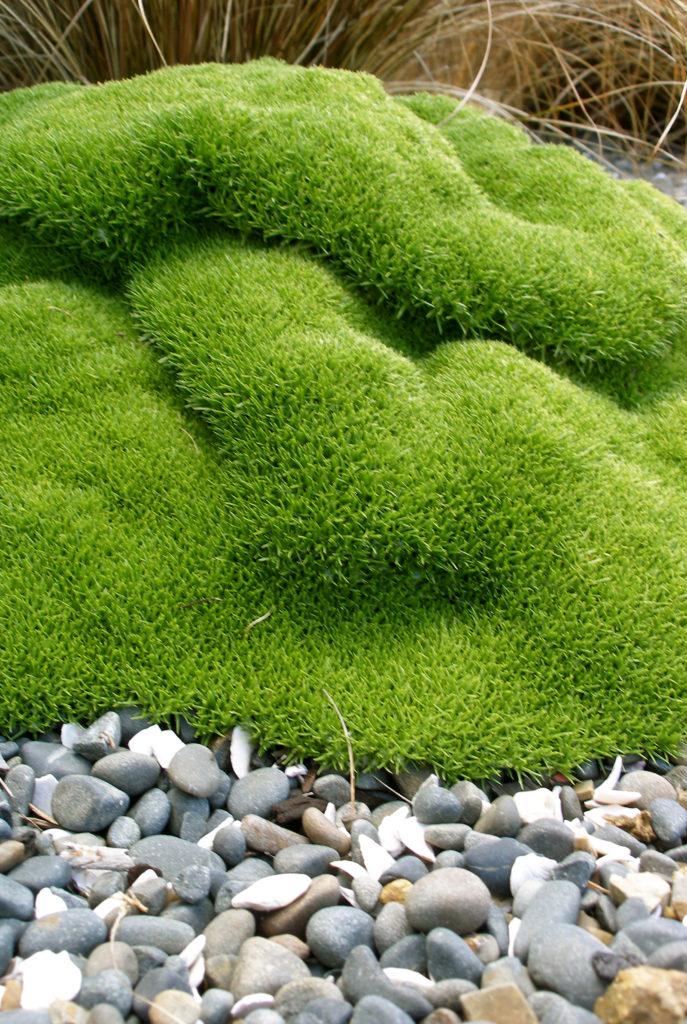 scleranthus moss, grasses and pebble garden
